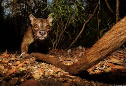 Fossa - Madagascar Photo Tour