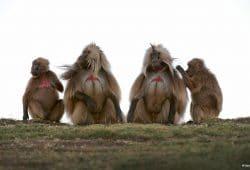Gelada Baboon, Ethiopia Wildlife Tours