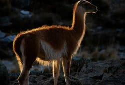 Guanaco, Patagonia Photography Tours