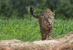 Jaguar Pantanal Photography