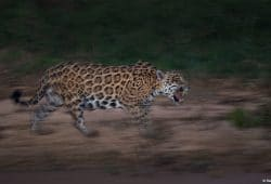 Jaguar Photo Tours Brazil