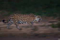 Jaguar Photo Tours Brazil