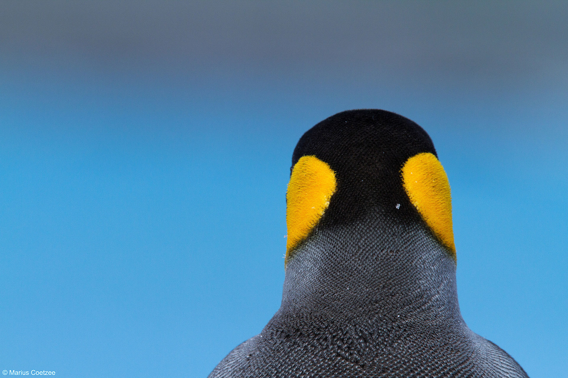 King Penguin South Georgia Photography Tours