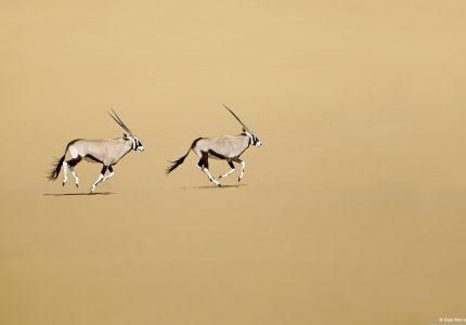 Oryx- Namibia Photography Tour