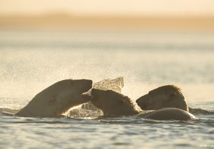 Polar Bear Photo Tours