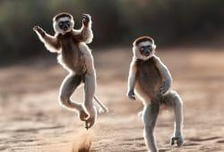 Sifaka, Lemur Photo Tours