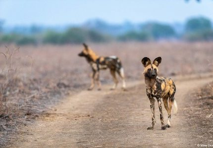 Wild Dog, Zambia Photography Tours