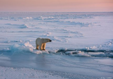Polar Bear, Svalbard Photography Tours