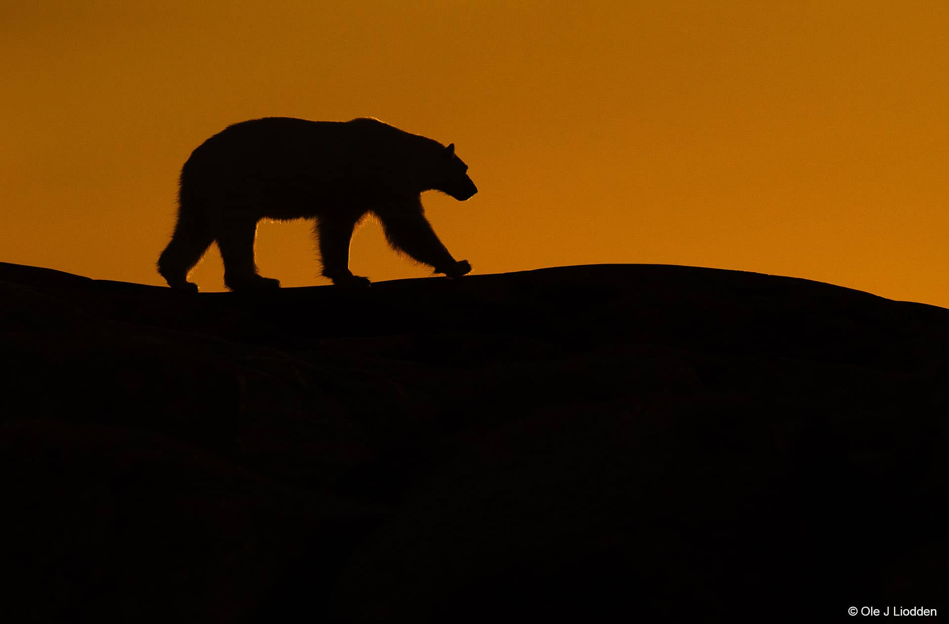 Polar Bear Svalbard Photography Tours