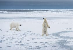 Polar bear Svalbard winter