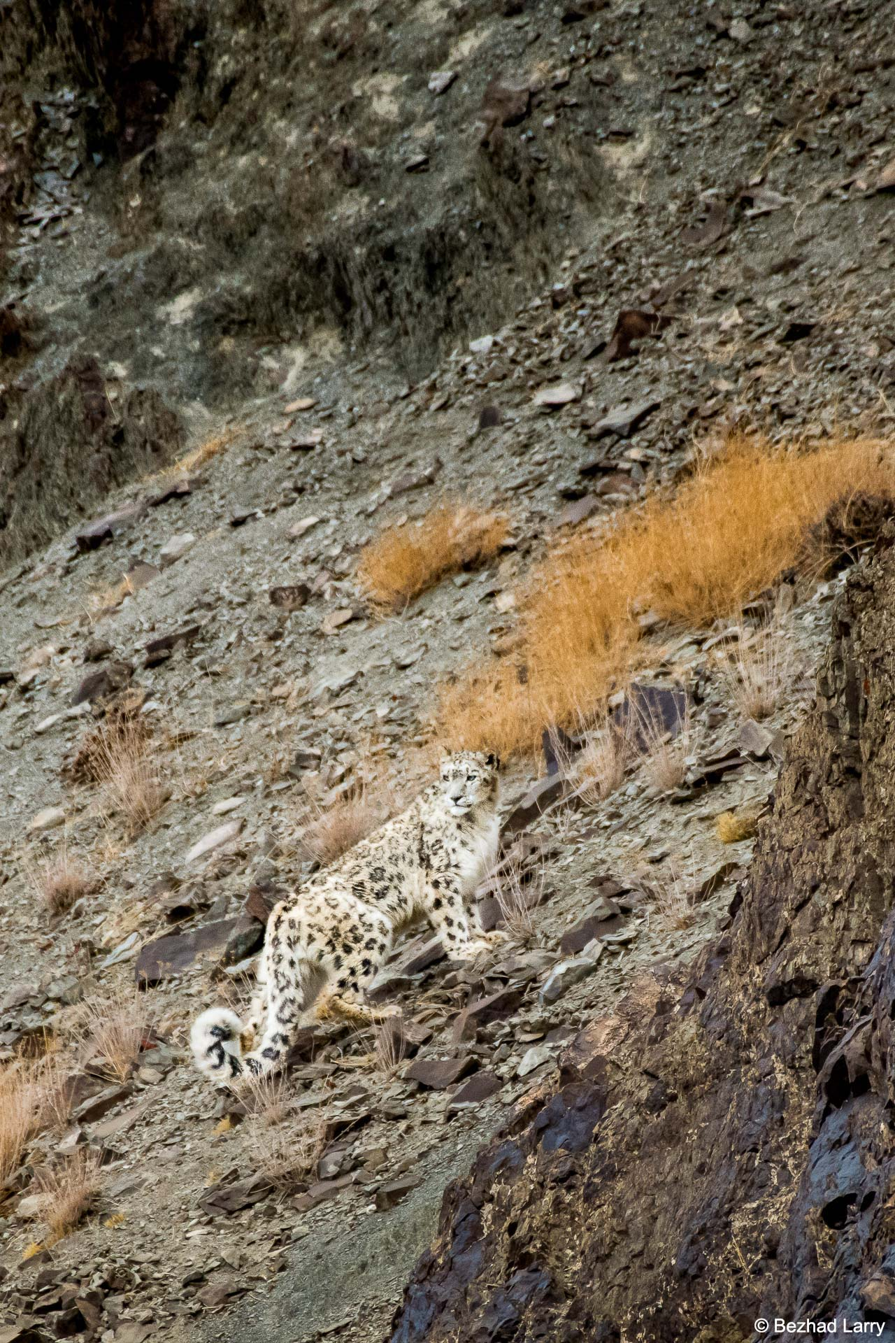 India Snow Leopards Tour