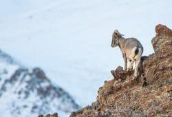 Snow Leopard Photo Tour