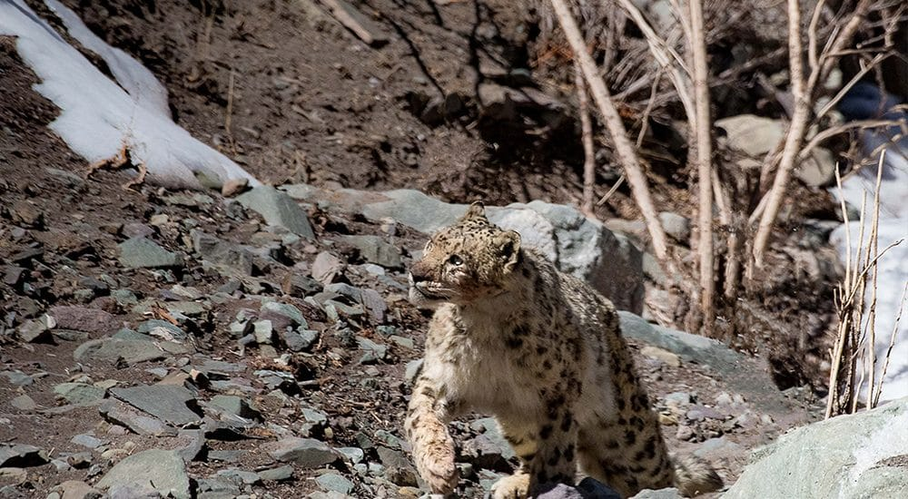 Snow Leopard Photo Tour