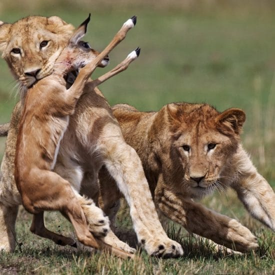 Kenya Photo Safari Tours - Lion Hunt