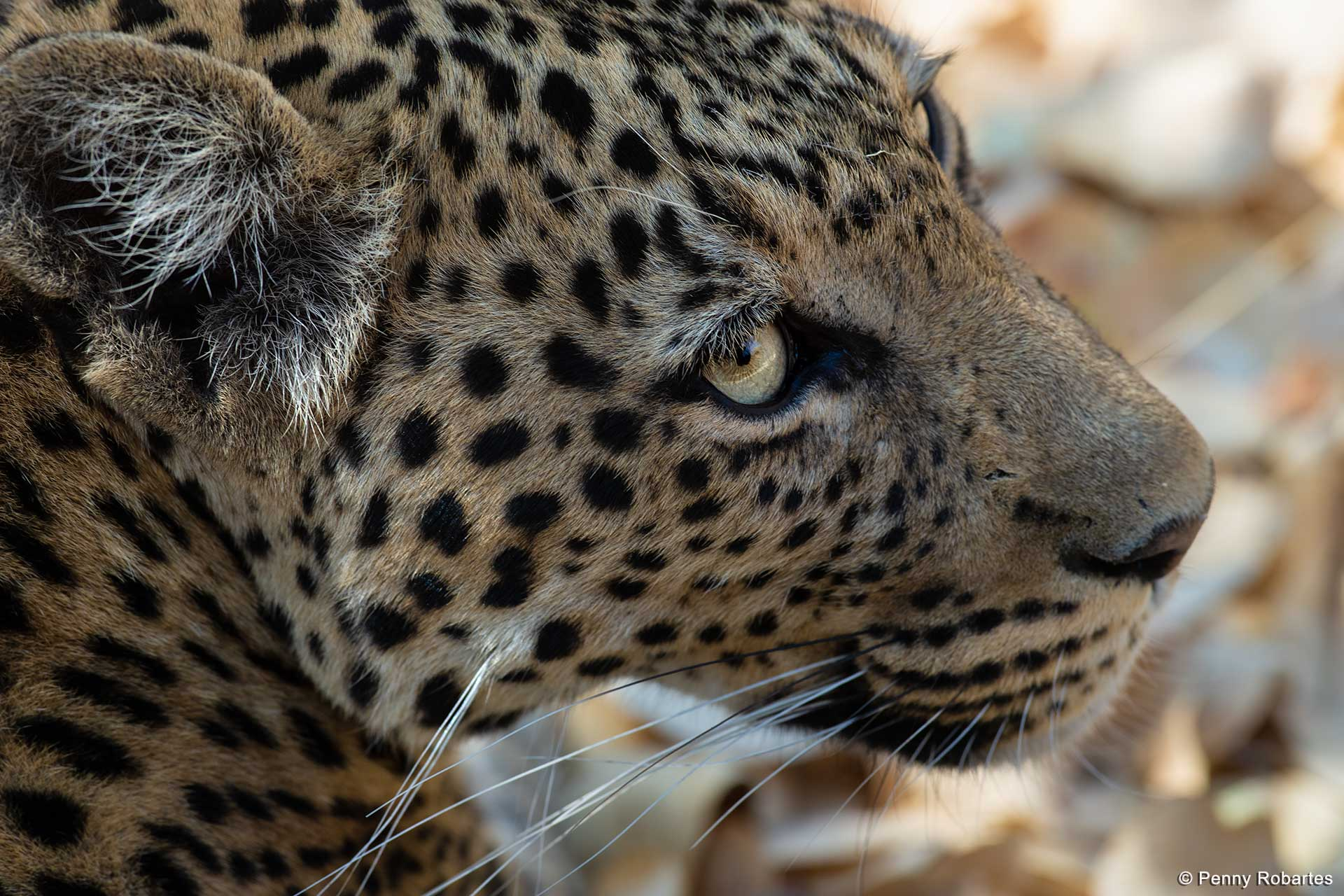 Leopard - Savute Photo Tour