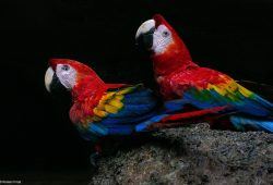 Scarlet Macaws Amazon photo tour
